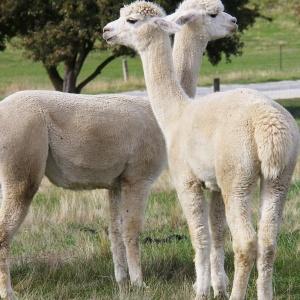 Lama alpaca a její chov