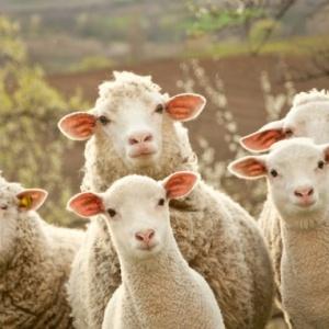 Plemena ovcí chovaných v ČR